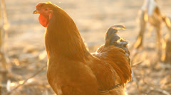 Portrait of rooster Stock Footage