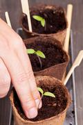 seedling separation - stock photo
