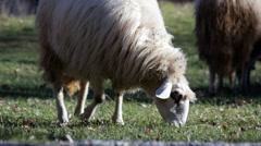 Sheep eat grass Stock Footage