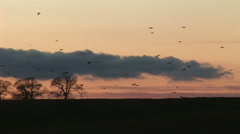Hundreds of birds landing in a field at sunset - stock footage