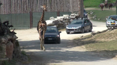 Natural Park Safari, walking giraffe, Ankole-Watusi, cars, animals in captivity Stock Footage