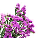 Stock Photo of bouquet from purple statice flowers isolated on white background.