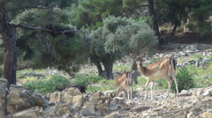 Herd of deer in the mountain forest, rocky landscape, wild animals in captivity Stock Footage