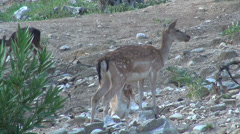 Deer feeding hungry baby fawn, mountain forest, mother, Bambi sucking milk Stock Footage