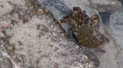 Pachygrapsus marmoratus, marbled rock crab, scared crab in the sea water Stock Footage