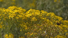 Jacobaea vulgaris, Senecio jacobaea, Ragwort, Cushag,  in wind. Stock Footage