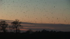 Large flock of birds land in trees in the evening light - stock footage