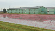 Stock Video Footage of Cranberries Floating, Ready for Harvest