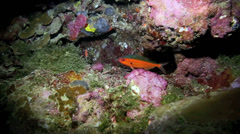 Neon fusilier fish amongst coral reef at night - stock footage