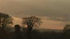 Black birds landing in winter trees in england at sunset - stock footage