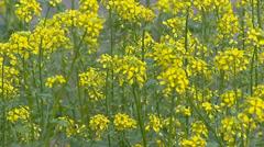 Yellow flowers of White mustard, Sinapis alba Stock Footage
