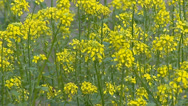 Stock Video Footage of Yellow flowers of White mustard, Sinapis alba