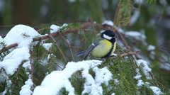 Tits on fir in winter forest Stock Footage