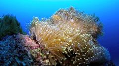 Clownfish shelter amongst anemone Stock Footage