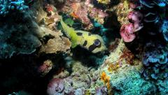 Black-blotched porcupinefish (Diodon liturosus) Stock Footage
