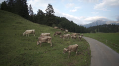 Domestic cattle grazing on hill in Switzerland Stock Footage