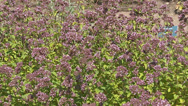 Stock Video Footage of Origanum vulgare - full screen - culinary herb