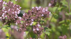 Origanum vulgare - close up - culinary herb Stock Footage