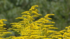 Stock Video Footage of Solidago canadensis in bloom + insects