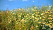 Stock Video Footage of camomile field on the wind
