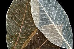Kuivattu kumipuu luuranko lehdet Kuvituskuvat