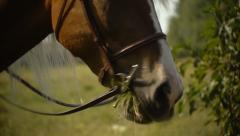 Western Historical Re-enactment - Horse chewing close up Stock Footage