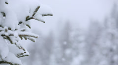 Spruce forest covered with snow during snow fall - stock footage