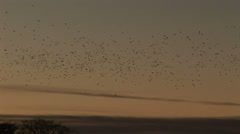 Evening and flock of birds in the thousands flies in sky - stock footage