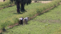 The farmer uses the bulls in the work on the field Stock Footage