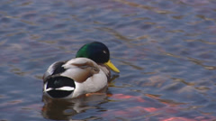 Wild Duck male swimming, dabbling in pond - mallard - anas platyrhynchos - stock footage
