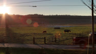 Stock Video Footage of Horses near sunset / Snow Geese in distance
