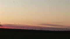 Birds gather, rooks and crows in the evening light, England - stock footage