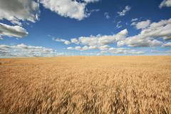 Avoin kenttä - Maisema keltainen vehnä, sininen taivas ja valkoiset pilvet Kuvituskuvat