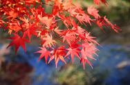 Stock Photo of japanese maple tree leaves ( momiji )