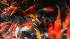 Koi Carp Fish - stock footage