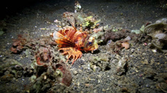 Lionfish (Pterois) resting on ocean floor at night Stock Footage