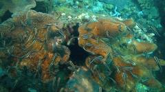 School of striped eel catfish underwater Stock Footage