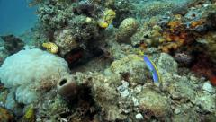 Ribbon eel (Rhinomuraena quaesita) guarding hole on ocean floor Stock Footage