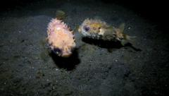 Young porcupinefish playing underwater at night Stock Footage