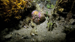 Hermit crab underwater at night Stock Footage