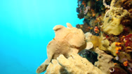 Stock Video Footage of Frogfish camouflaged against coral