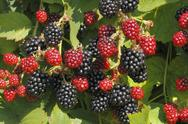 Stock Photo of blackberry (rubus sectio rubus)