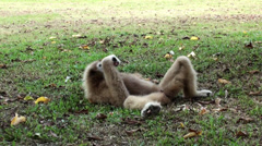 A Lar Gibbon (Hylobates lar) relaxes on the grass Stock Footage