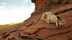 Animal Skull in Desert Wilderness on Sandstone with Pan Stock Footage