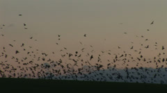 Brids fly from ground black evening large many in flock Stock Footage