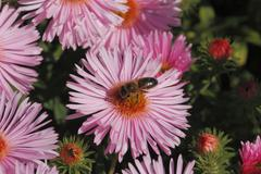 blooming asters with bee - stock photo