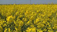 Stock Video Footage of Rapeseed in Agriculture Field, View Yellow Rape on Cultivated Land, Countryside