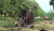 Stock Video Footage of An Asian cow chewing the cud