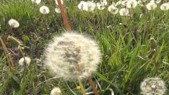 POV Walking, Flying, Stepping, Running in Grass, Dandelion Meadow, Flower Field Stock Footage
