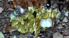 Yellow butterflies swam on wet stones Stock Footage